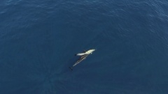 Topshot of common dolphins, HD aerial slow motion 50fps Stock Footage
