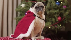 A cute pug dog in Christmas clothes sits in front of a decorated tree. Stock Footage