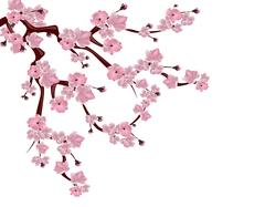 Japanese cherry tree. Spreading branch of pink cherry blossom. Isolated on .. Stock Illustration