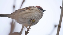 Brown sparrow bird sitting on a dry branch winter wind Stock Footage