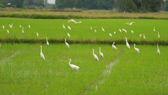 Group of egrets in rice field, Slow motion Stock Footage