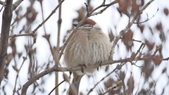 Brown sparrow sitting on a bird dry branch winter wind Stock Footage