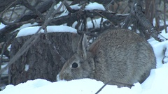 Cottontail Rabbit in Winter Snow in Forest by Brushpile Stock Footage