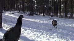 Wild Turkeys Foraging and Digging in Snow in Forest in Winter Stock Footage
