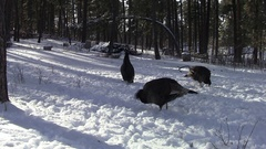 North American Wild Turkey Flock Foraging and Digging for Food in Snow Stock Footage