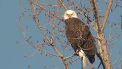 Handsome Majestic Adult Bald Eagle Perched on Branch in Winter Stock Footage