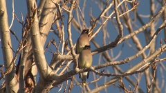 Beautiful Cedar Waxwing Songbirds in Tree Branches Stock Footage