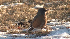 American Robin in Winter Snow Feeding on Dry Berry Fruit Stock Footage