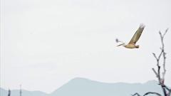 Spot-billed pelican Yala national park Sri Lanka slow motion flying Stock Footage