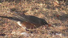 American Red-breasted Robin in Winter Feeding on Dried Berries on Ground Stock Footage