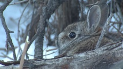 Closeup of Cotton-tailed Rabbit Bunny in Winter in Brushpile Stock Footage