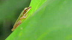 Close up macro of tropical tree frog animal on green leaf in Thailand rainforest Stock Footage