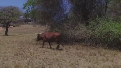 Long horned cow walking in dry grass slow motion 120fps Stock Footage