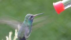 Broad-billed Hummingbird (Cynanthus latirostris) Stock Footage