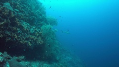 Grey reef sharks on a colorful coral reef with plenty fish. 4k  Stock Footage
