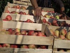 Pick up Apple in orchards with Protection cover nets  Stock Footage