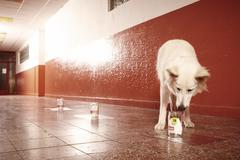 Positive identification of offender odor traces by police dog on location Stock Photos