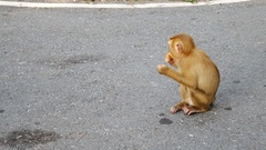 Life of monkey  lived on the mountain in the country, Thailand. Waiting for.. Stock Footage