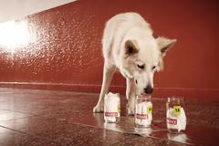 Training identification of victim odor traces by police dog on location Stock Photos