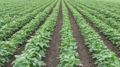 Green cultivated soy bean field in early summer Stock Footage
