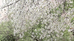 Blossoming tree, blooming sweet cherry, many flowers. Stock Footage