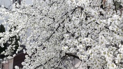 Blossoming tree, blooming sweet cherry, the most blooming, many flowers. Stock Footage