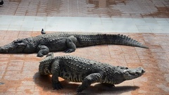 Crocodiles sleeping and resting in the park of Bueng Boraphet Stock Footage
