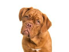 Bordeaux dogue portait on a white background Stock Photos