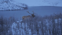 Pan of Three Bull Elk on the move. Stock Footage
