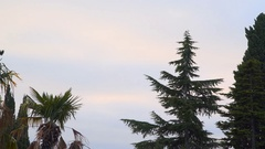 Palma and spruce on a background cloudy sky Stock Footage