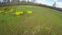 Aerial view of Pitcher Plants (Sarracenia) in Carolina bay Stock Footage