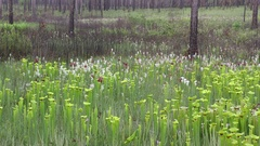 Seepage bog with Yellow and White-topped Pitcher Plants (Sarracenia) Stock Footage