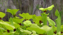 Close view of Yellow Pitcher Plants (Sarracenia flava var rugelii) Stock Footage