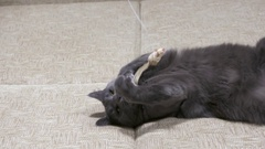 Adult gray cat like kitten playing with mouse toy on a string Stock Footage