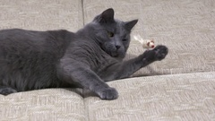 Young domestic cat playing with mouse toy on a string Stock Footage