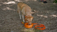The dog drinking a water from a plastic bowl Stock Footage