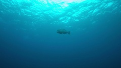 Humphead Parrotfish in blue water. 4k Stock Footage