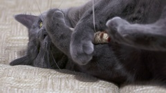 Playful cat catches the mouse on a string playing on the bed Stock Footage