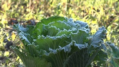 Frozen cabbage vegetable plant head. Focus in from blur. 4K Stock Footage