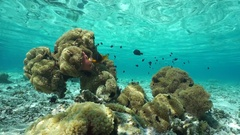 Sea anemones and tropical fish Pacific ocean Stock Footage