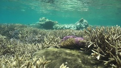 Healthy coral reef in shallow water Pacific ocean Stock Footage