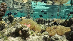Sea anemones tropical fish shallow water Pacific Stock Footage