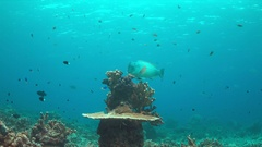 Humphead Parrotfish on a coral reef. 4k Stock Footage