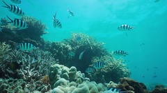 Underwater coral shoal tropical fish Pacific ocean Stock Footage