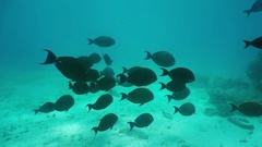 Tropical fish yellowfin surgeonfish Pacific ocean Stock Footage