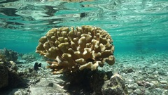 Underwater Pocillopora cauliflower coral Pacific Stock Footage