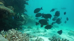 Tropical fish shoal surgeonfish underwater ocean Stock Footage