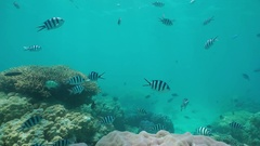 Shoal of fish damselfish and corals Pacific ocean Stock Footage