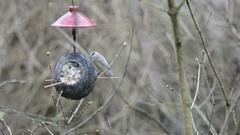 Eurasian blue tit (Cyanistes caeruleus) on bird feeder in winter. coconut Stock Footage