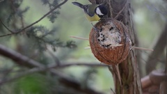 Coconut with great tit (Parus major). bird feeder Stock Footage